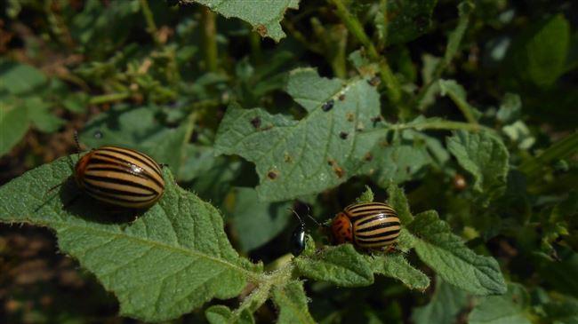 Профилактика появления жука