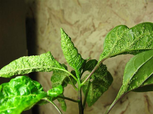 Причины и признаки поражения растения