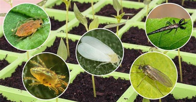 Причины появления болезней и вредителей на рассаде