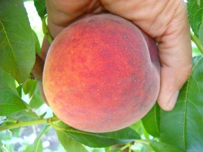 Правила ухода за персиками сорта Посол мира
