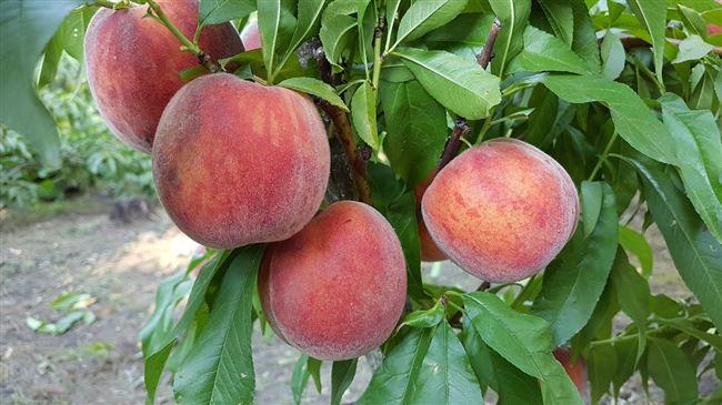 Подробное описание сорта персика Посол мира
