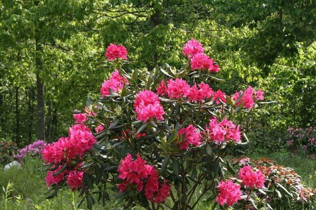 История садового растения рододендрон
