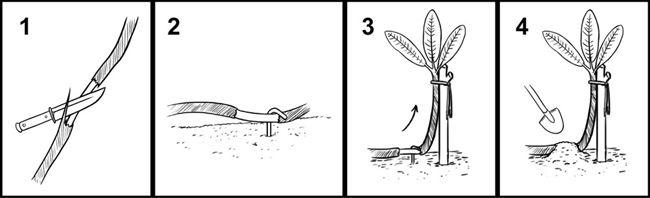 Размножение рододендронов черенками