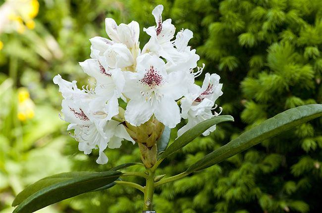 Ботаническое описание сорта