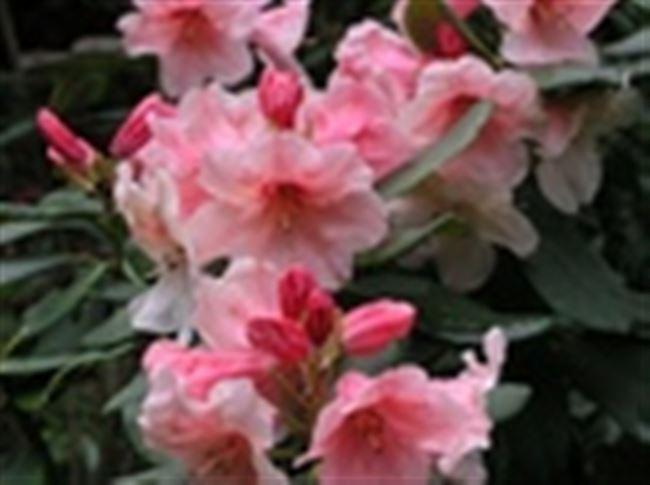 Рододендрон Ханя: описание сорта, фото, отзывы