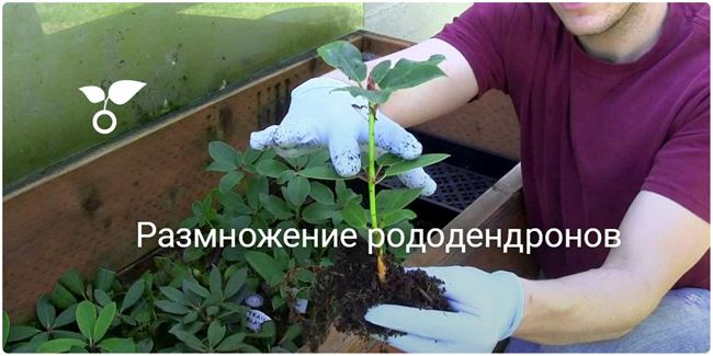 Размножение рододендронов отводками