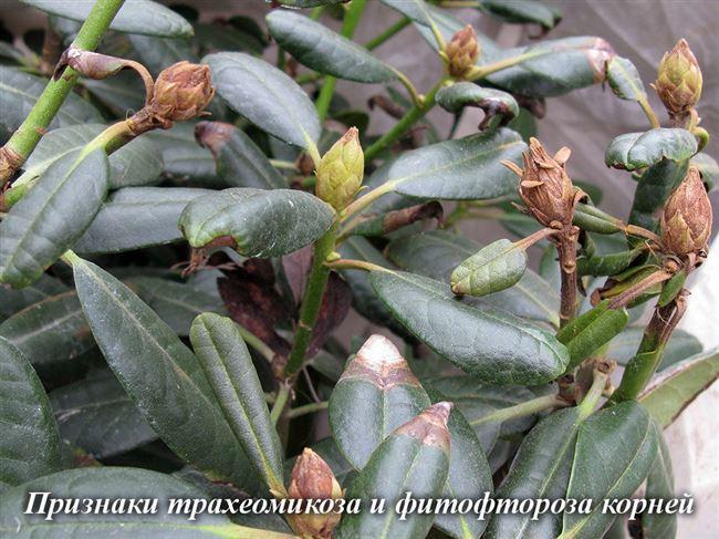 Болезни и вредители рододендрона