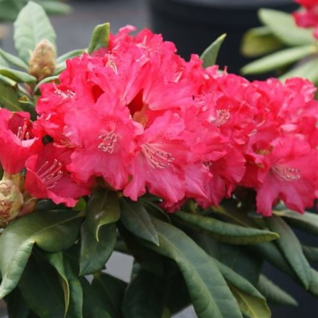 Описание рододендрона якушиманского