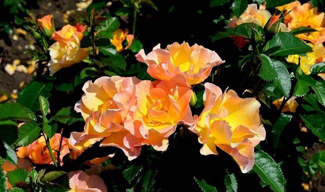 Плюсы канадских зимостойких роз
