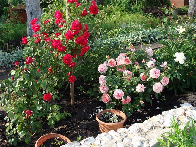 Посадка роз на участке