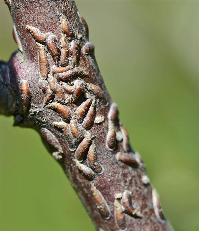 Яблоневая запятовидная щитовка