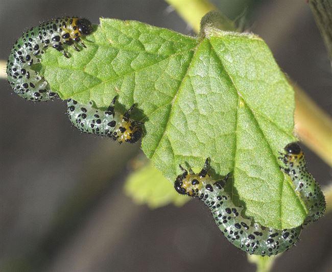 Народные методы и химические средства для уничтожения других гусениц на смородине