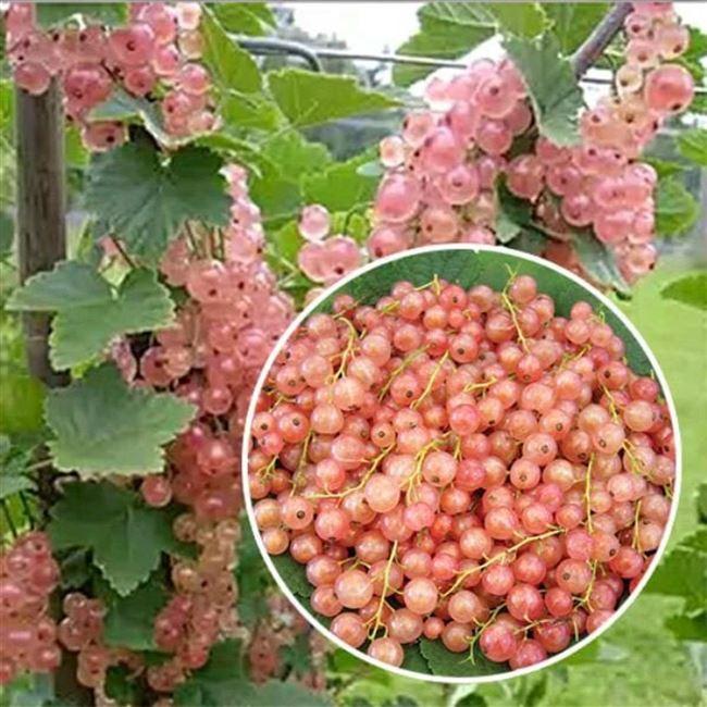 Размножение розовой смородины
