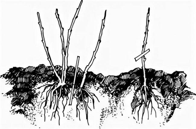 Размножение розовой смородины делением куста