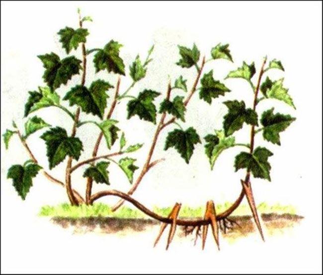 Размножение розовой смородины отводками
