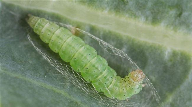 Как выглядят и чем опасны капустные совки