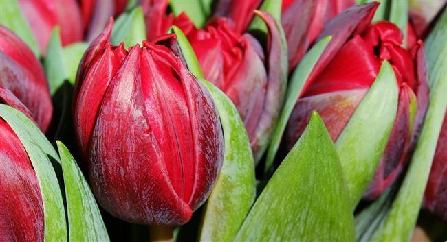 Основные болезни и вредители тюльпанов