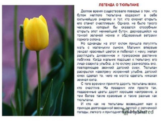 Советы по лечению тюльпанов