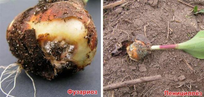 Болезни луковиц тюльпанов мягкая гниль