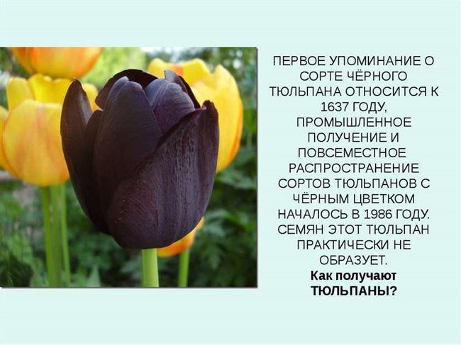 Описание цветка и история его выведения