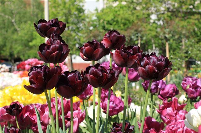 Посадка тюльпана Чёрный Принц и уход за ним