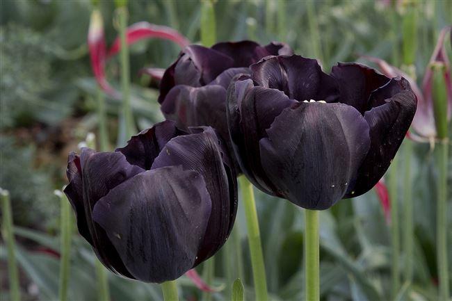 Неинфекционные заболевания тюльпанов
