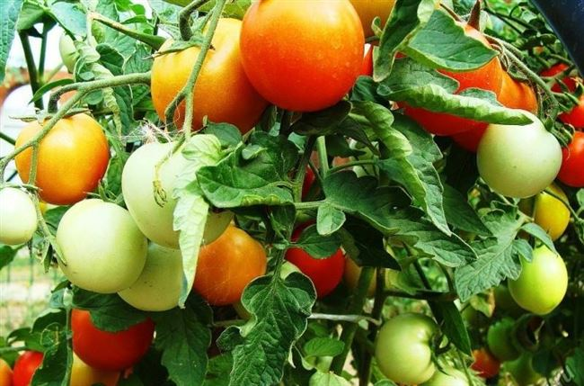 Уход за взрослыми томатами