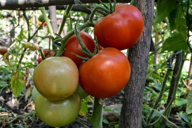 Высокоурожайные сорта помидоров от фирмы Гавриш, видео
