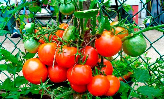 Характеристика и описание сорта томатов Лакомка