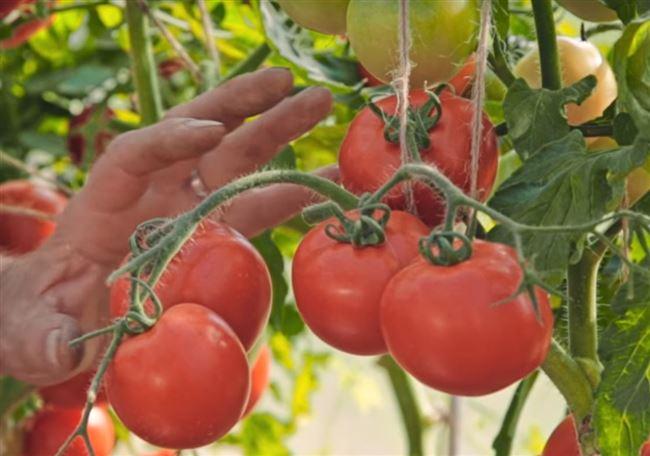 Особенности выращивания помидоров Любаша, посадка и уход