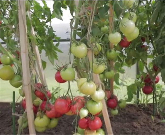 Особенности выращивания томата Малиновая империя, посадка и уход