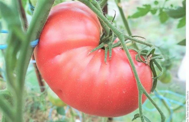 Особенности выращивания помидоров Малиновый гигант, посадка и уход