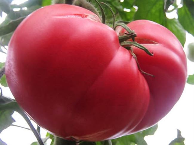 Отзывы овощеводов о сорте