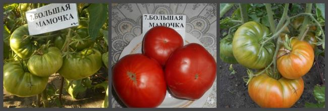 Описание и характеристика томата Большая мамочка, отзывы, фото