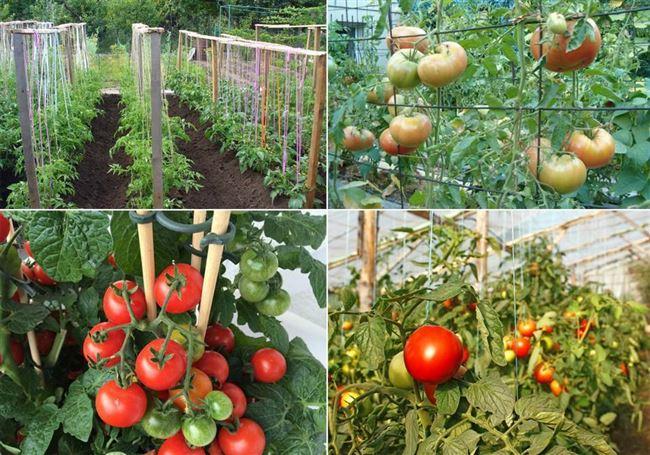 Правила посадки и ухода за помидорами сорта Машенька