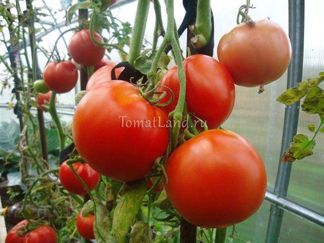 История выращивания сорта томатов Машенька