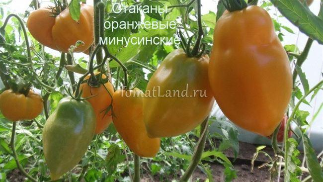 Урожайность томата Минусинские стаканы и плодоношение