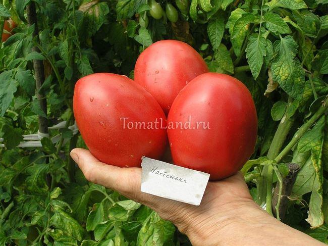 Описание и характеристика томата Настенька, отзывы, фото
