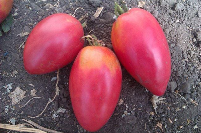 Описание помидоров Настенька