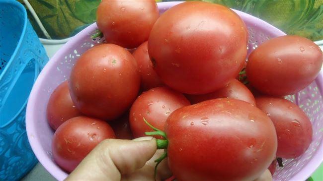 Характеристика помидоров Настенька