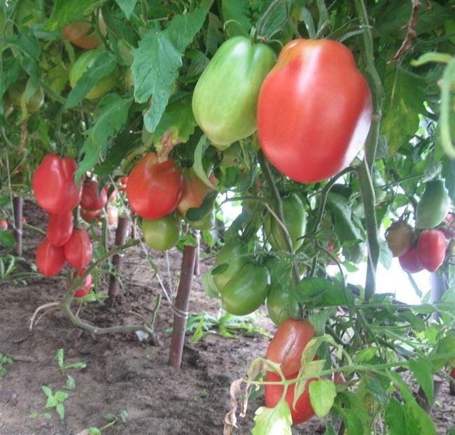 Описание и характеристика томата Ослиные уши, отзывы, фото