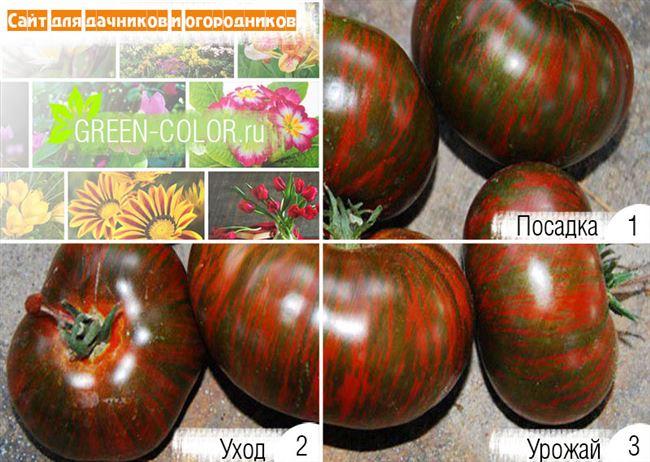 Плюсы и минусы сорта помидор Полосатый шоколад