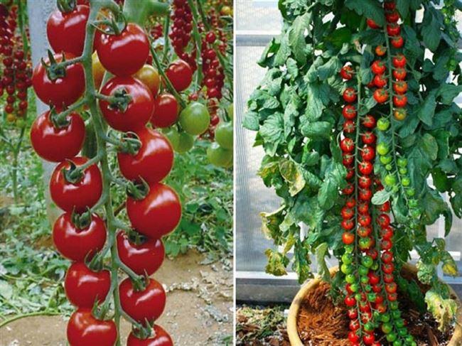Посадка и выращивание рассады