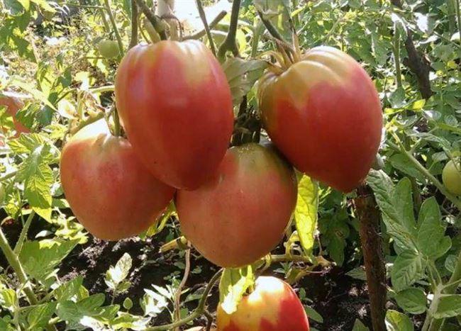 История выращивания сорта томатов Розовое сердце