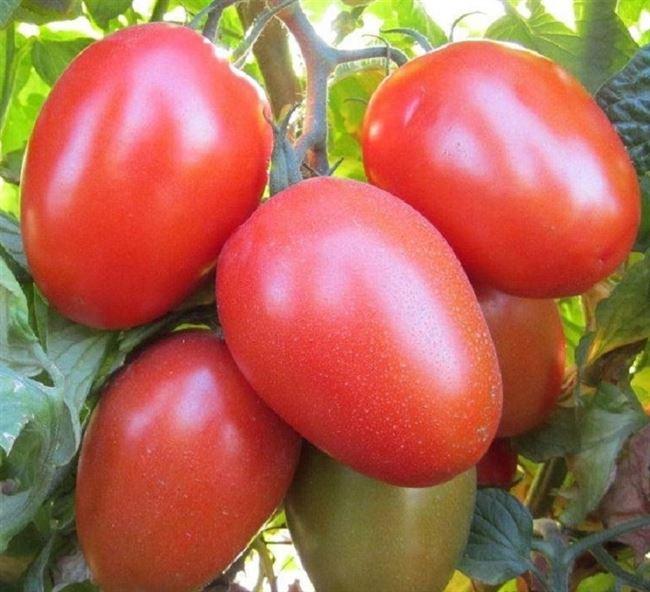 Описание и характеристика томата Рома, отзывы, фото
