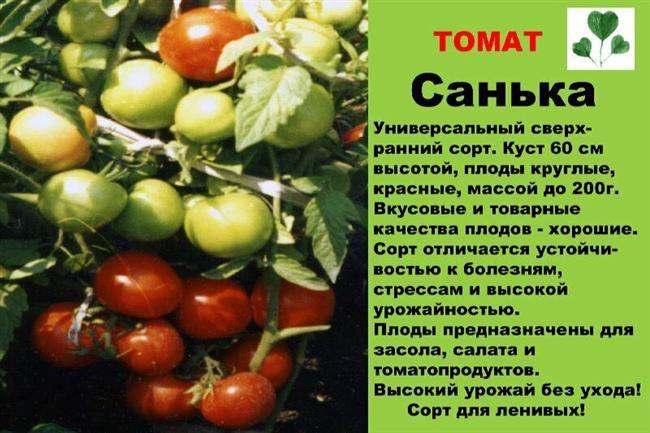 История появления сорта томатов Санька