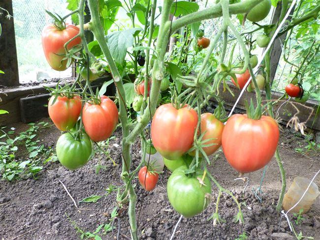 Особенности выращивания помидоров Сенсей, посадка и уход