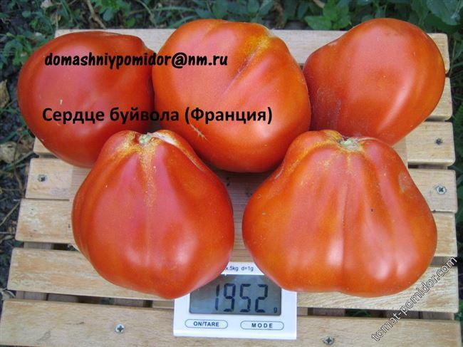 Описание и характеристика сорта томата Сердце буйвола, отзывы, фото