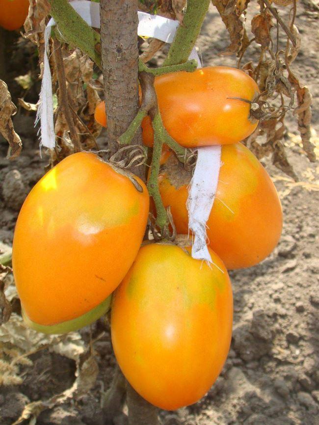 История выращивания сорта томатов Южный загар