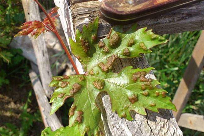 Причины появления клеща на винограде